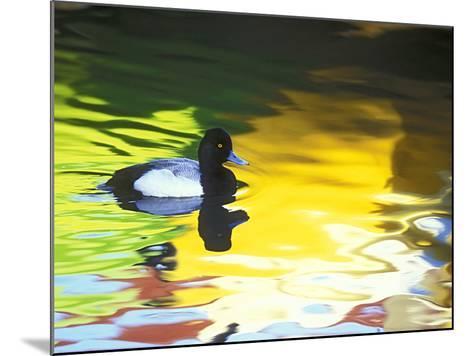 Lesser Scaup Drake, Coronado, California, USA-Arthur Morris.-Mounted Photographic Print