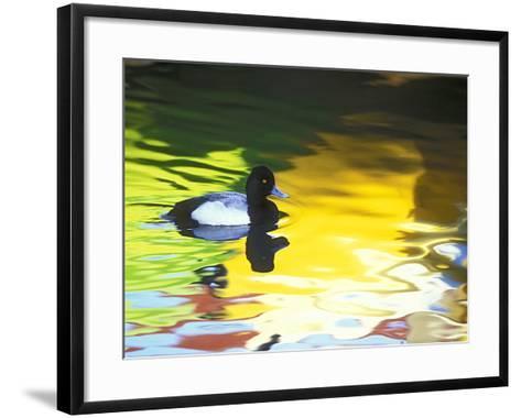 Lesser Scaup Drake, Coronado, California, USA-Arthur Morris.-Framed Art Print