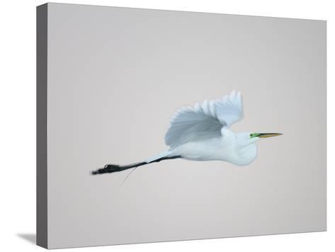 Flying Great Egret in Predawn at the Venice Rookery, South Venice, Florida, USA-Arthur Morris-Stretched Canvas Print