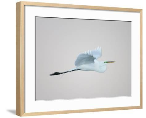 Flying Great Egret in Predawn at the Venice Rookery, South Venice, Florida, USA-Arthur Morris-Framed Art Print