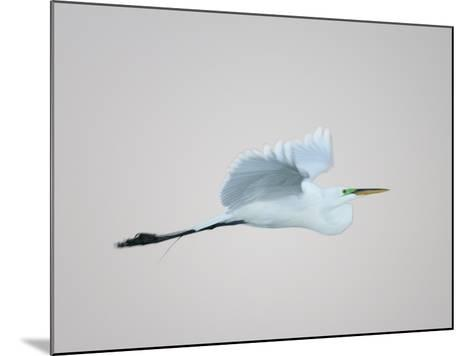 Flying Great Egret in Predawn at the Venice Rookery, South Venice, Florida, USA-Arthur Morris-Mounted Photographic Print