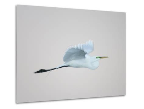 Flying Great Egret in Predawn at the Venice Rookery, South Venice, Florida, USA-Arthur Morris-Metal Print