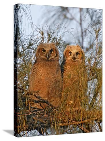 Great Horned Owlets on Tree Limb, De Soto, Florida, USA-Arthur Morris-Stretched Canvas Print