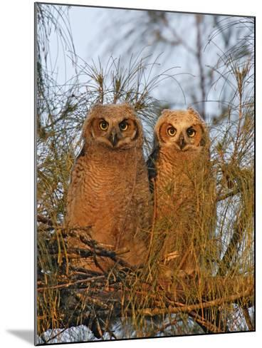 Great Horned Owlets on Tree Limb, De Soto, Florida, USA-Arthur Morris-Mounted Photographic Print