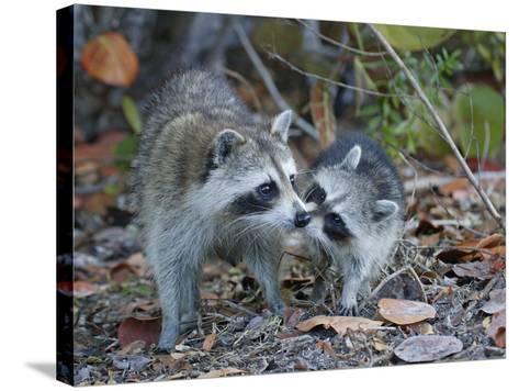 Young Raccoon Kissing Adult, Ding Darling National Wildlife Refuge, Sanibel, Florida, USA-Arthur Morris-Stretched Canvas Print
