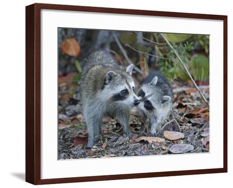 Young Raccoon Kissing Adult, Ding Darling National Wildlife Refuge, Sanibel, Florida, USA-Arthur Morris-Framed Art Print