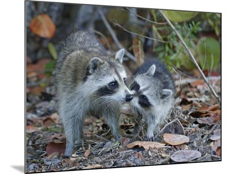 Young Raccoon Kissing Adult, Ding Darling National Wildlife Refuge, Sanibel, Florida, USA-Arthur Morris-Mounted Photographic Print