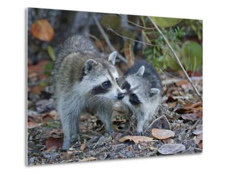 Young Raccoon Kissing Adult, Ding Darling National Wildlife Refuge, Sanibel, Florida, USA-Arthur Morris-Metal Print
