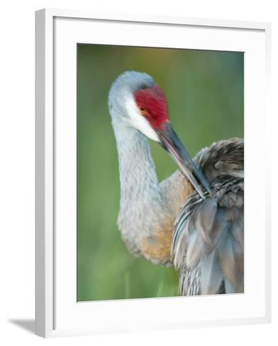 Close-up of Sandhill Crane Preening Its Feathers, Indian Lake Estates, Florida, USA-Arthur Morris-Framed Art Print