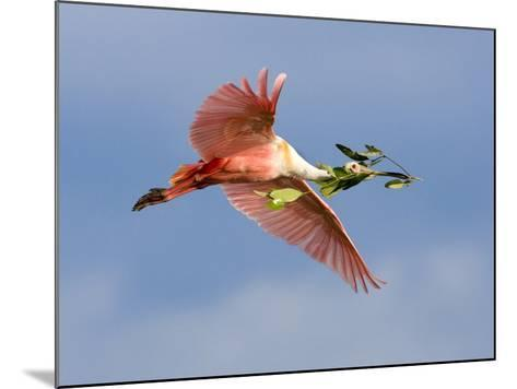Roseate Spoonbill in Flight Carrying Nesting Material, Tampa Bay, Florida, USA-Jim Zuckerman-Mounted Photographic Print