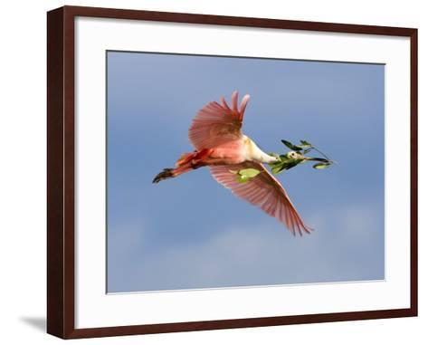 Roseate Spoonbill in Flight Carrying Nesting Material, Tampa Bay, Florida, USA-Jim Zuckerman-Framed Art Print