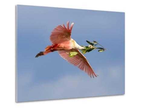 Roseate Spoonbill in Flight Carrying Nesting Material, Tampa Bay, Florida, USA-Jim Zuckerman-Metal Print