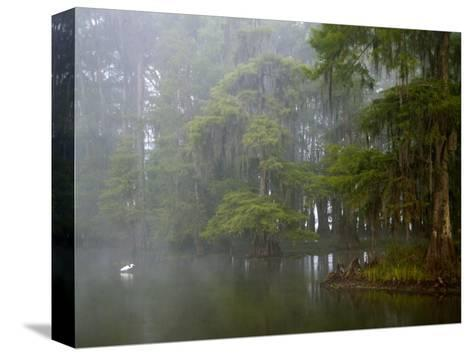 Great Egret Reflected in Foggy Cypress Swamp, Lake Martin, Louisiana, USA-Arthur Morris-Stretched Canvas Print