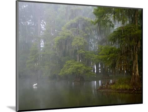 Great Egret Reflected in Foggy Cypress Swamp, Lake Martin, Louisiana, USA-Arthur Morris-Mounted Photographic Print