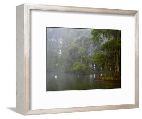Great Egret Reflected in Foggy Cypress Swamp, Lake Martin, Louisiana, USA-Arthur Morris-Framed Art Print