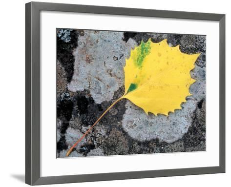 Leaf of a Bigtooth Aspen on Lichen and Granite, Howe Brook, Baxter State Park, Maine, USA-Jerry & Marcy Monkman-Framed Art Print
