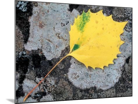 Leaf of a Bigtooth Aspen on Lichen and Granite, Howe Brook, Baxter State Park, Maine, USA-Jerry & Marcy Monkman-Mounted Photographic Print