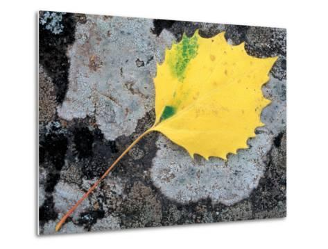 Leaf of a Bigtooth Aspen on Lichen and Granite, Howe Brook, Baxter State Park, Maine, USA-Jerry & Marcy Monkman-Metal Print