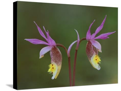 Pair of Calypso Orchids, Upper Peninsula, Michigan, USA-Mark Carlson-Stretched Canvas Print