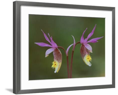 Pair of Calypso Orchids, Upper Peninsula, Michigan, USA-Mark Carlson-Framed Art Print