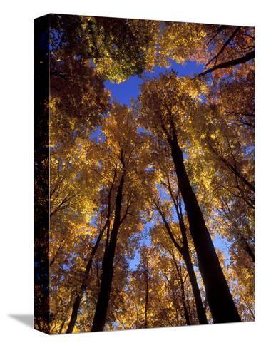 Blue Sky Through Sugar Maple Trees in Autumn Colors, Upper Peninsula, Michigan, USA-Mark Carlson-Stretched Canvas Print