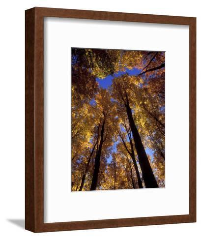 Blue Sky Through Sugar Maple Trees in Autumn Colors, Upper Peninsula, Michigan, USA-Mark Carlson-Framed Art Print