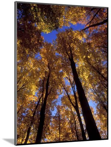 Blue Sky Through Sugar Maple Trees in Autumn Colors, Upper Peninsula, Michigan, USA-Mark Carlson-Mounted Photographic Print