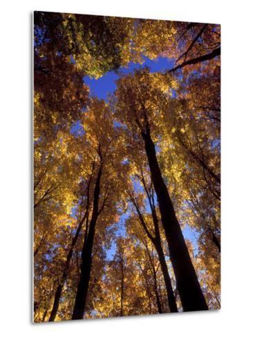 Blue Sky Through Sugar Maple Trees in Autumn Colors, Upper Peninsula, Michigan, USA-Mark Carlson-Metal Print