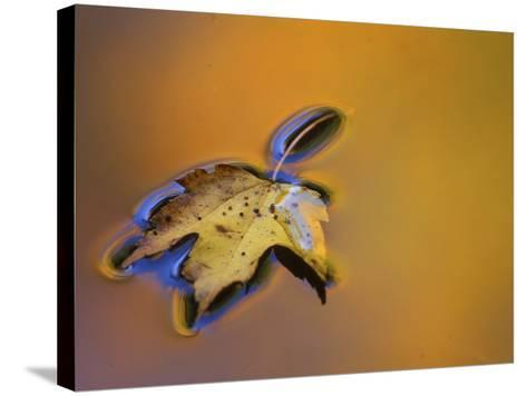 Maple Leaf Floating on Water Surface with Autumn Reflections, Michigan, USA-Mark Carlson-Stretched Canvas Print