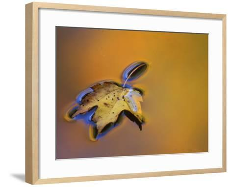 Maple Leaf Floating on Water Surface with Autumn Reflections, Michigan, USA-Mark Carlson-Framed Art Print