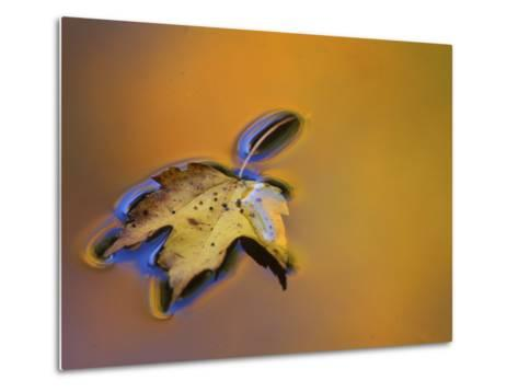 Maple Leaf Floating on Water Surface with Autumn Reflections, Michigan, USA-Mark Carlson-Metal Print