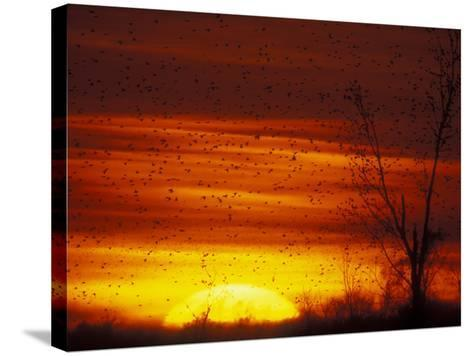 Large Flock of Blackbirds Silhouetted at Sunset, Missouri, USA-Arthur Morris-Stretched Canvas Print
