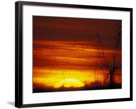 Large Flock of Blackbirds Silhouetted at Sunset, Missouri, USA-Arthur Morris-Framed Art Print