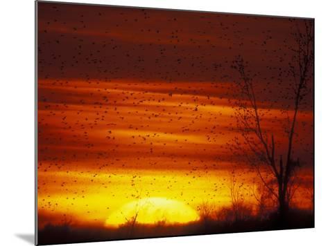 Large Flock of Blackbirds Silhouetted at Sunset, Missouri, USA-Arthur Morris-Mounted Photographic Print
