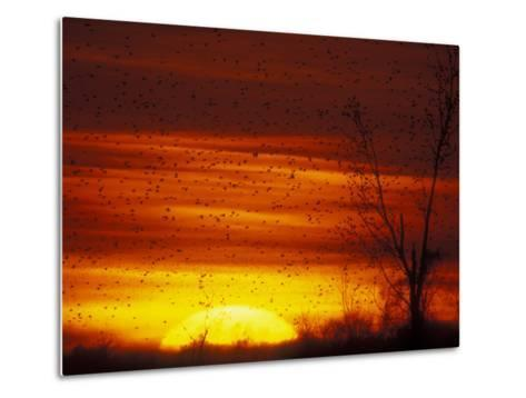 Large Flock of Blackbirds Silhouetted at Sunset, Missouri, USA-Arthur Morris-Metal Print