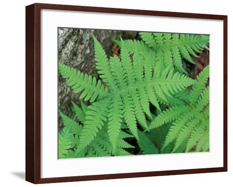 Long Beech Fern, White Mountains National Forest, Waterville Valley, New Hampshire, USA-Jerry & Marcy Monkman-Framed Art Print