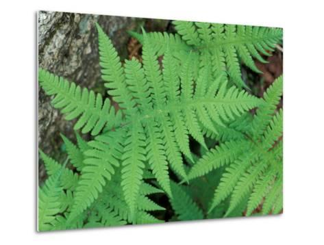 Long Beech Fern, White Mountains National Forest, Waterville Valley, New Hampshire, USA-Jerry & Marcy Monkman-Metal Print
