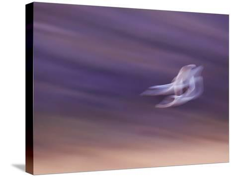 Abstract of Two Snow Geese in Flight, Bosque Del Apache National Wildlife Reserve, New Mexico, USA-Ellen Anon-Stretched Canvas Print