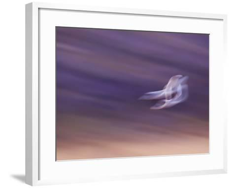 Abstract of Two Snow Geese in Flight, Bosque Del Apache National Wildlife Reserve, New Mexico, USA-Ellen Anon-Framed Art Print