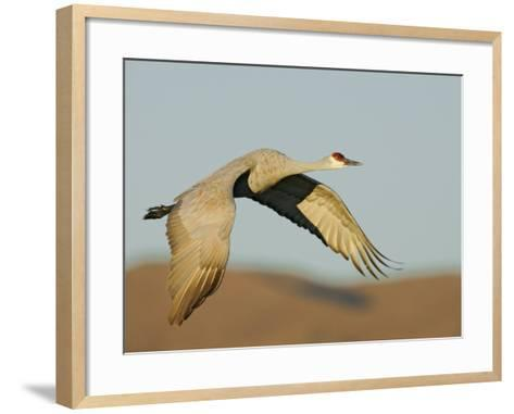 Close-up of Sandhill Crane in Flight Over Mountain, Bosque Del Apache National Wildlife Reserve-Arthur Morris-Framed Art Print