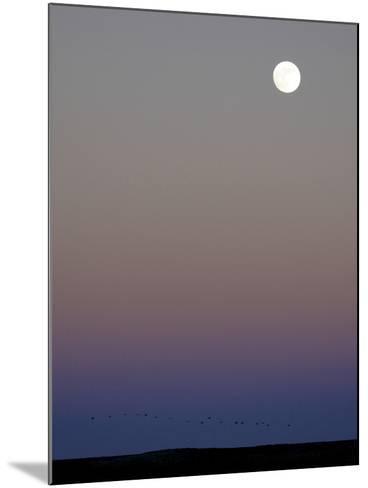 Sandhill Cranes Moon Flying Under Full Moon at Twilight-Arthur Morris-Mounted Photographic Print