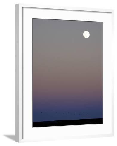 Sandhill Cranes Moon Flying Under Full Moon at Twilight-Arthur Morris-Framed Art Print