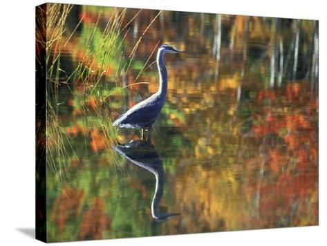 Great Blue Heron in Fall Reflection, Adirondacks, New York, USA-Nancy Rotenberg-Stretched Canvas Print