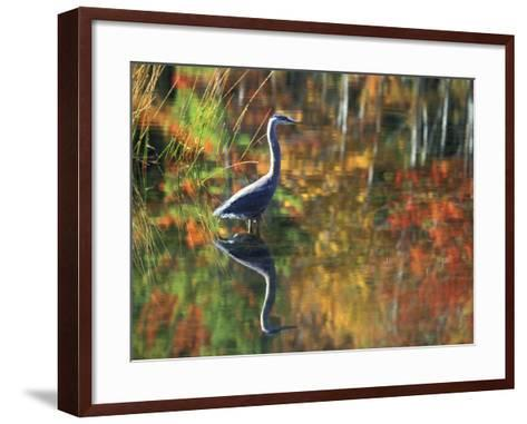 Great Blue Heron in Fall Reflection, Adirondacks, New York, USA-Nancy Rotenberg-Framed Art Print
