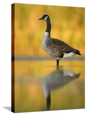 Portrait of Canada Goose Standing in Water, Queens, New York City, New York, USA-Arthur Morris-Stretched Canvas Print