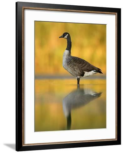 Portrait of Canada Goose Standing in Water, Queens, New York City, New York, USA-Arthur Morris-Framed Art Print