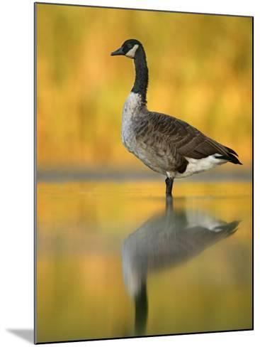 Portrait of Canada Goose Standing in Water, Queens, New York City, New York, USA-Arthur Morris-Mounted Photographic Print