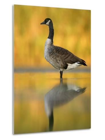 Portrait of Canada Goose Standing in Water, Queens, New York City, New York, USA-Arthur Morris-Metal Print