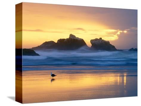 Beach at Sunset with Sea Stacks and Gull, Bandon, Oregon, USA-Nancy Rotenberg-Stretched Canvas Print