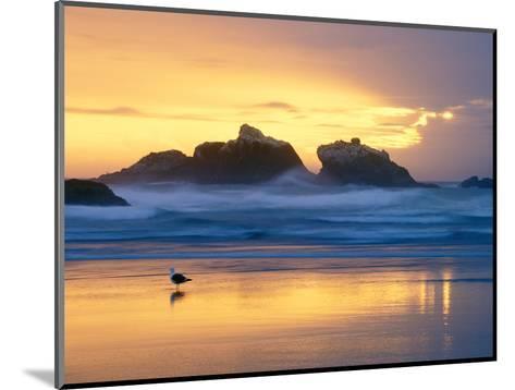 Beach at Sunset with Sea Stacks and Gull, Bandon, Oregon, USA-Nancy Rotenberg-Mounted Photographic Print